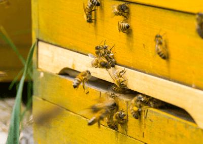 Bienen_01