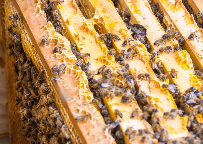 Bienen_03