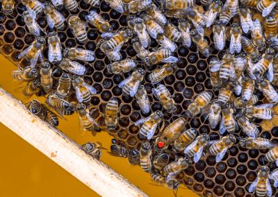 Bienen_05