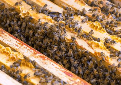 Bienen_06