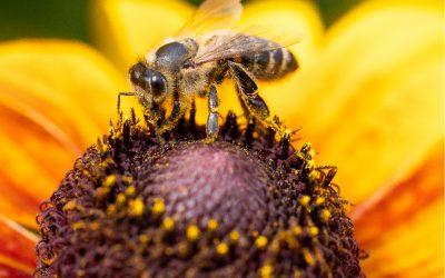 Sind Bienen vom Aussterben bedroht?