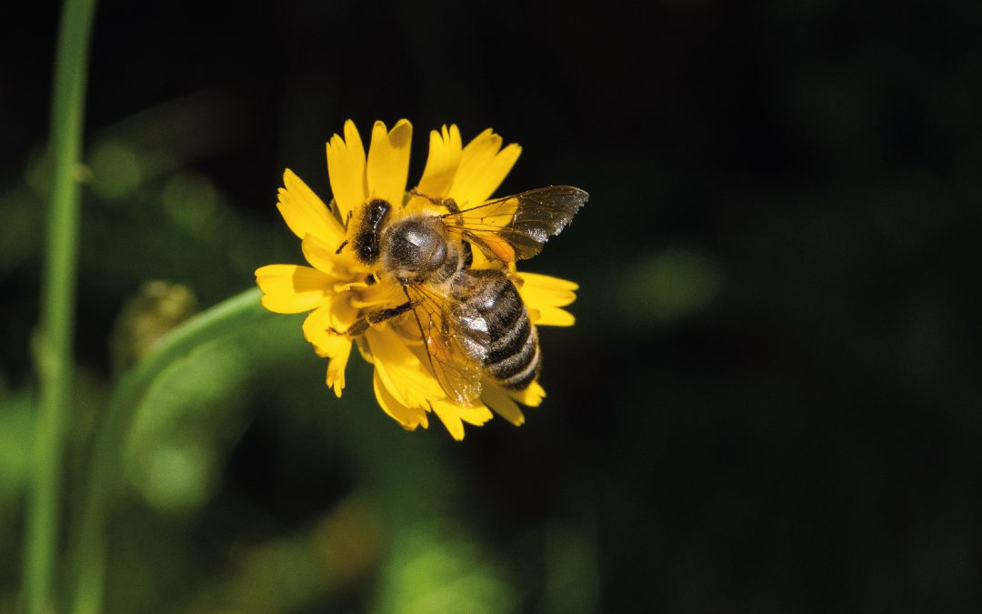 Wieso ist die Biene so wichtig für den Menschen?