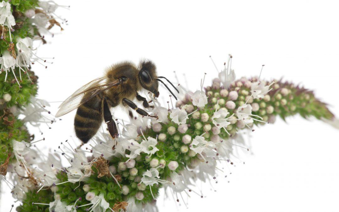 Ein Bienenvolk: Arbeiterinnen, Drohnen und die Bienenkönigin