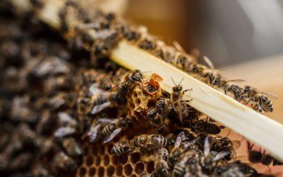 Die Funktion der Bienenkönigin